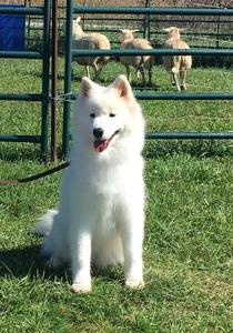 Miina receiving her Herding Instinct Test Title